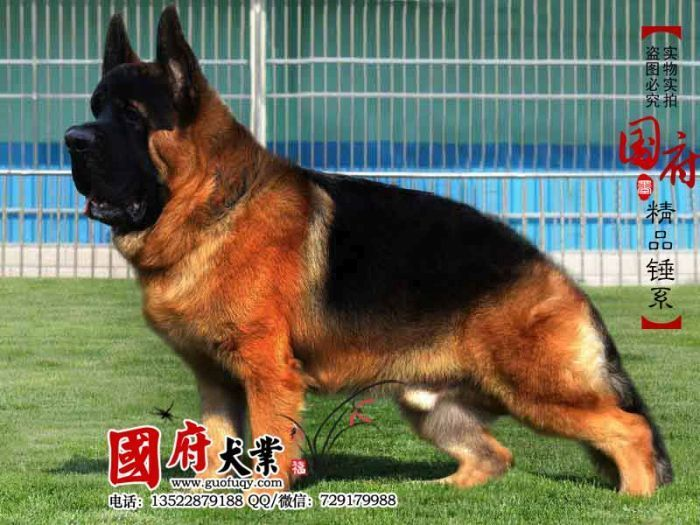 Unbelievably Large Chinese German Shepherd Memolition