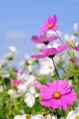 die besten 25 sonnenblumen pflanzen ideen auf pinterest sonnenblumen blumen f r kinder und. Black Bedroom Furniture Sets. Home Design Ideas
