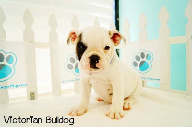 *Victorian Bulldog Puppies - English Bulldog/American Bulldog Designer Hybrid* Is this breed the right one for you and your family? Check out more about this breed through watching this video on Dogs 101: English Bulldog http://animal.discovery.com/tv-shows/dogs-101/videos/english-bulldog.htm & American Bulldog http://en.wikipedia.org/wiki/American_Bulldog