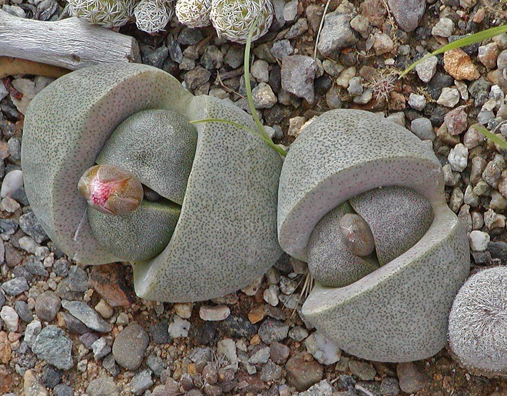 pleiospilos nelii 39 mimicry plant 39 my succulent collection pinterest kaktus. Black Bedroom Furniture Sets. Home Design Ideas