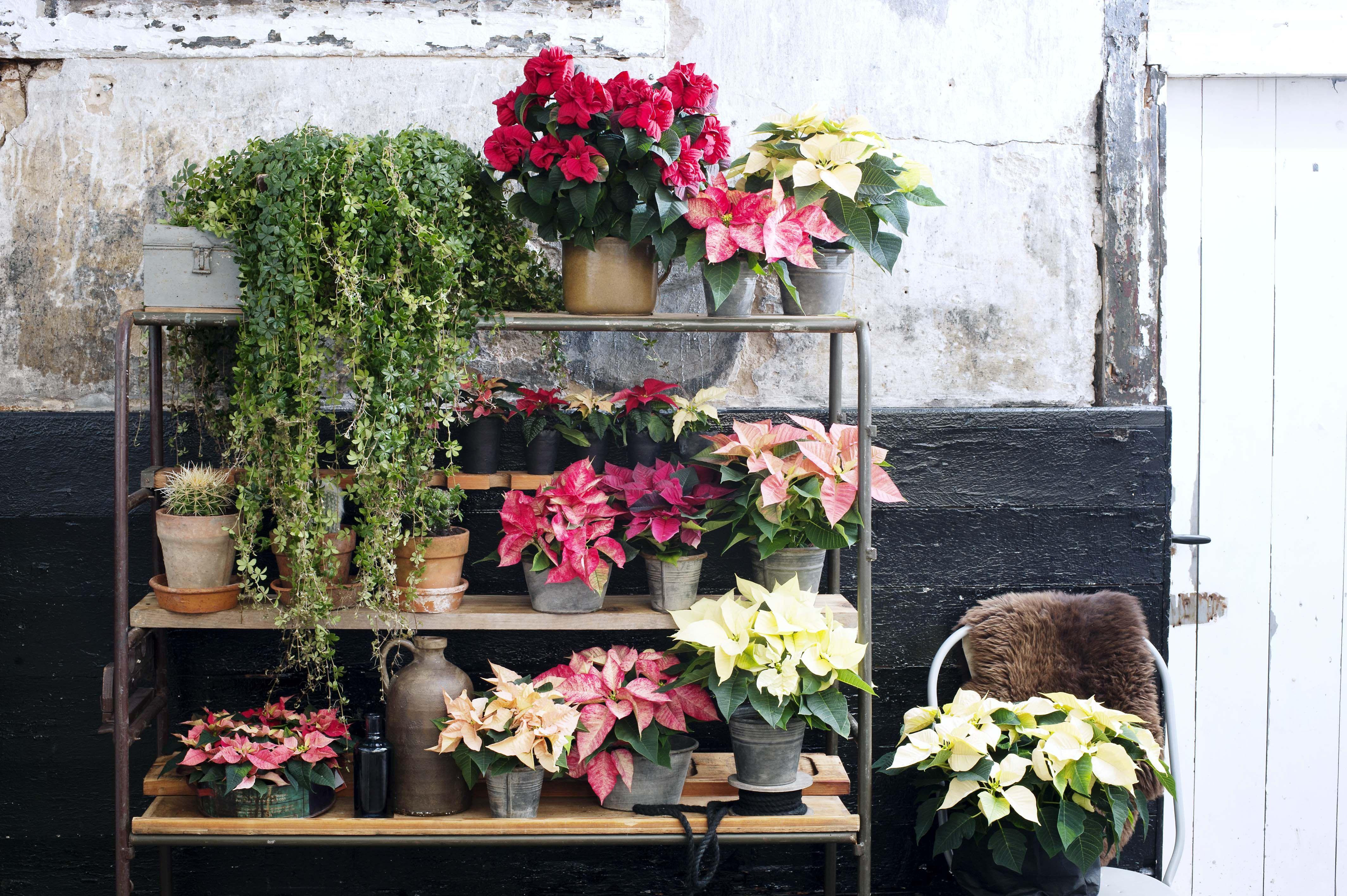 Die besten 25 weihnachtsstern pflanze ideen auf pinterest - Weihnachtsstern dekorieren ...