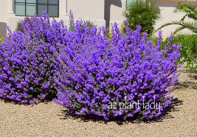 Texas Sage (Leucophyllum frutescens) landscaping Pinterest