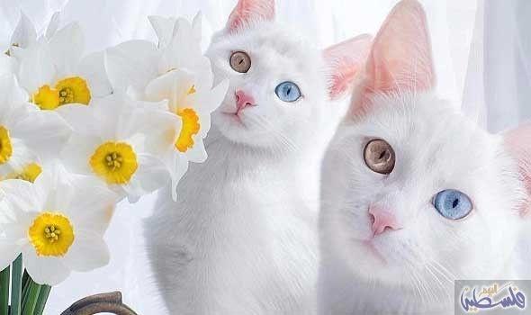 """قطط """"باوي"""" تثير موقع """"انستغرام"""" بعيونها الرائعة…: أبهرت القطط التوأم إريس وأبيس من سانت بطرسبرغ الناس على وسائل الاعلام الاجتماعية بعيونها…"""