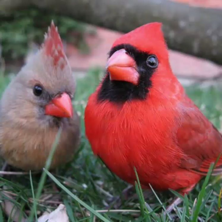 Live Stream Of A Cardinal Nest In Western Pennsylvania With