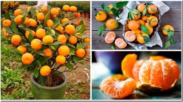 las mandarinas son una de las frutas más deliciosas que existen y