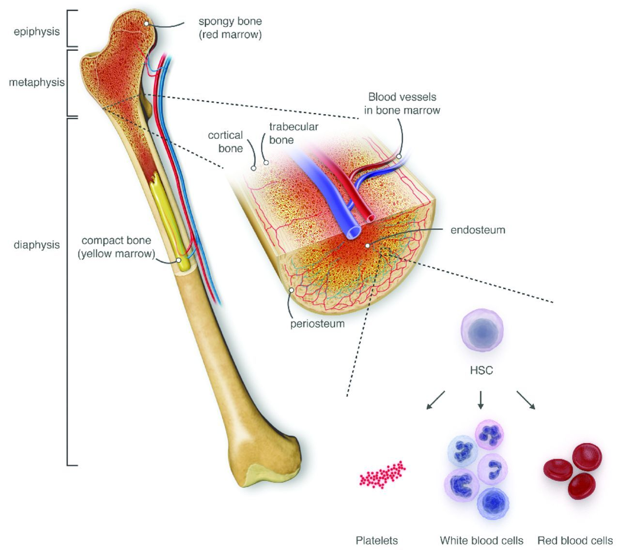 A hostel for the hostile: the bone marrow niche in ...