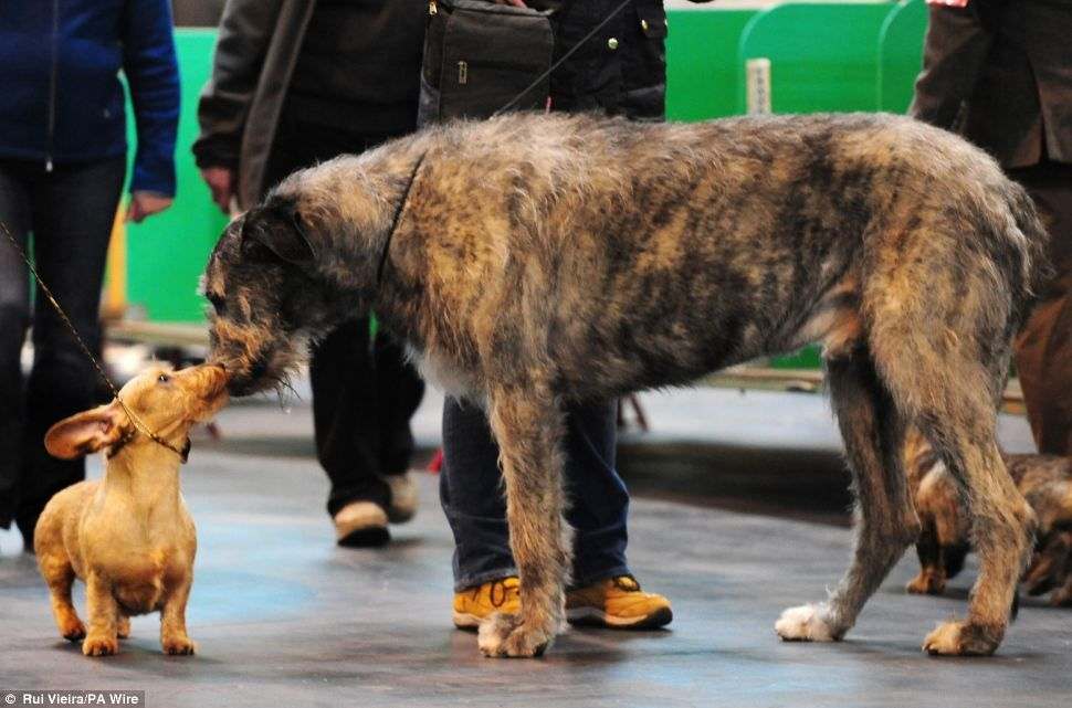 Meeoow We Like The Cat Suit But Isn T This A Dog Show Classy Canine Arrives For First Day Of Crufts Sporting A Tiger Print Onesie Dog Show Irish Wolfhound Weiner Dog