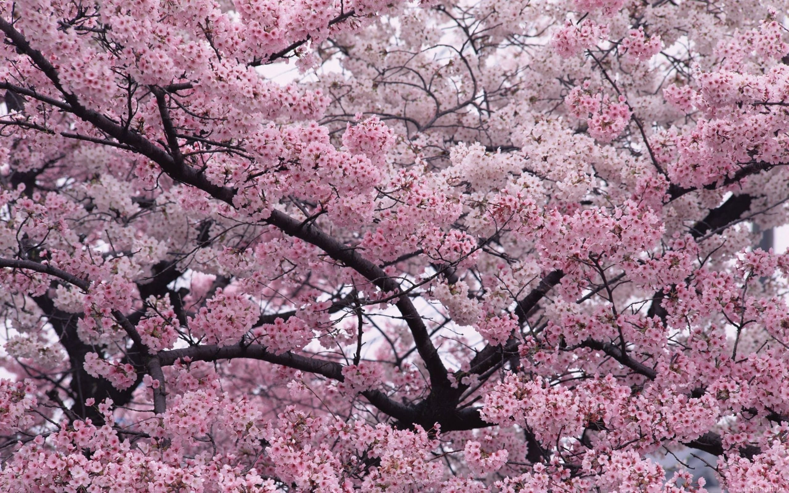 Beautiful Spring Cherry Blossoms Trees Cherry Blossom Tree Flower Landscape Blossom Trees