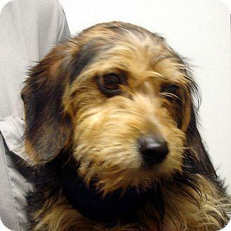 Brattleboro Vt Dachshund Yorkie Yorkshire Terrier Mix Meet Sawyer A Dog For Adoption Http Www Adopta Unique Dog Breeds Wire Haired Dachshund Dachshund