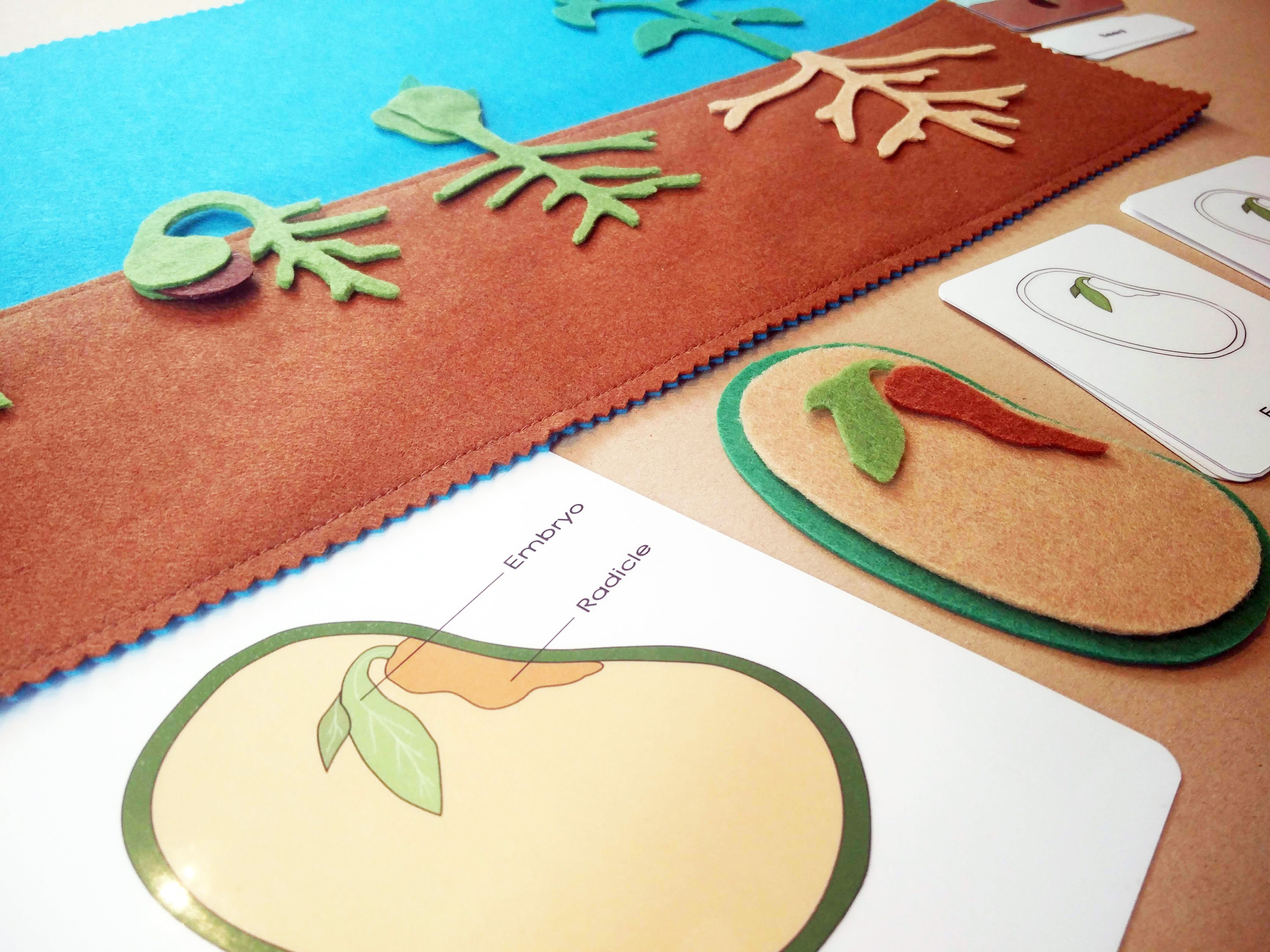 Montessori Botany Seeds And The Life Cycle Of A Bean