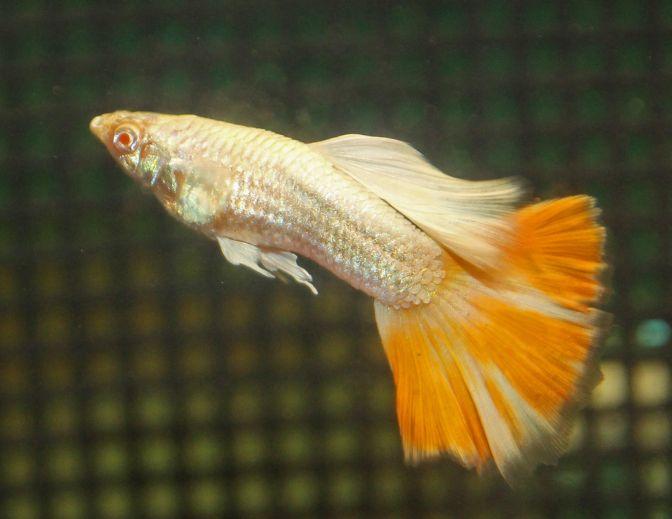 Platinum Albino Aoc Orange Guppies Guppy Fish Guppy Fresh Water Fish Tank