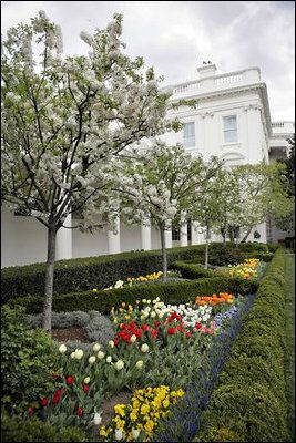 White House Rose Garden - Wikipedia: Catherine crabapple trees in bloom, bordered by tulips, primrose … |  Rose garden landscape, White house garden, Colonial garden