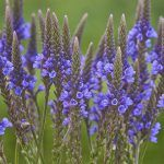 Verbena azul beneficios
