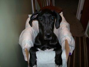Adopt Mason On Great Dane Dogs Dogs Animals
