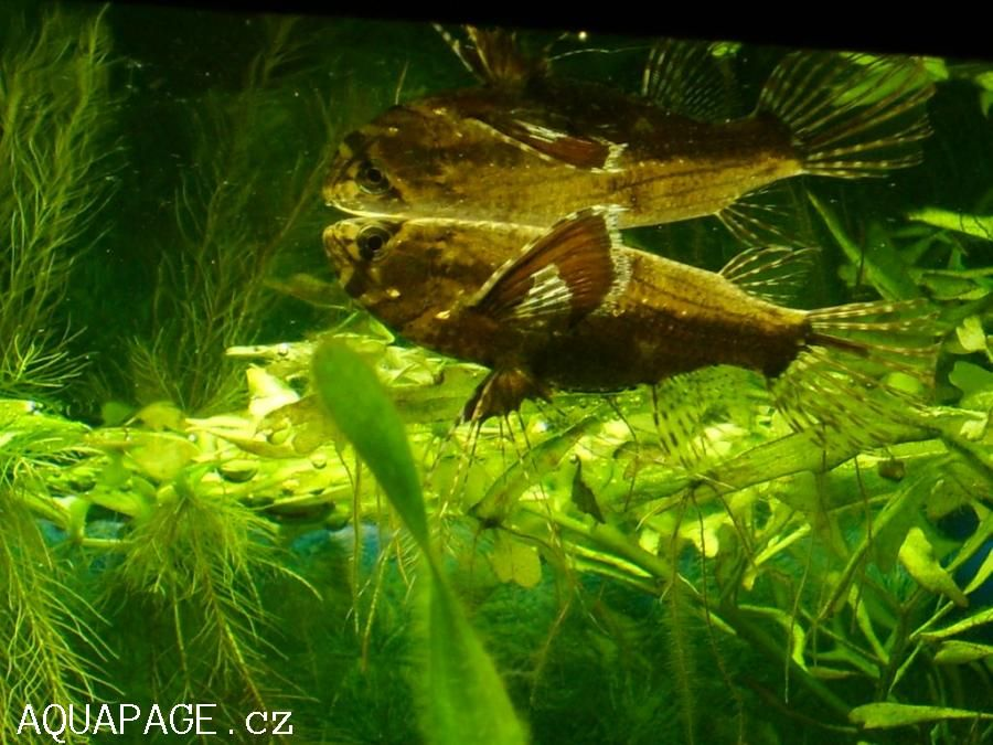 African Butterfly Fish Pantodon Buchholzi African Butterfly Fish