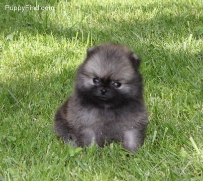 Allstar Poms Female Pomeranian For Sale In Ligonier Pa 4272260981 4272260981 Dogs On Oodle Marketplace Dogs And Puppies Dogs Puppies