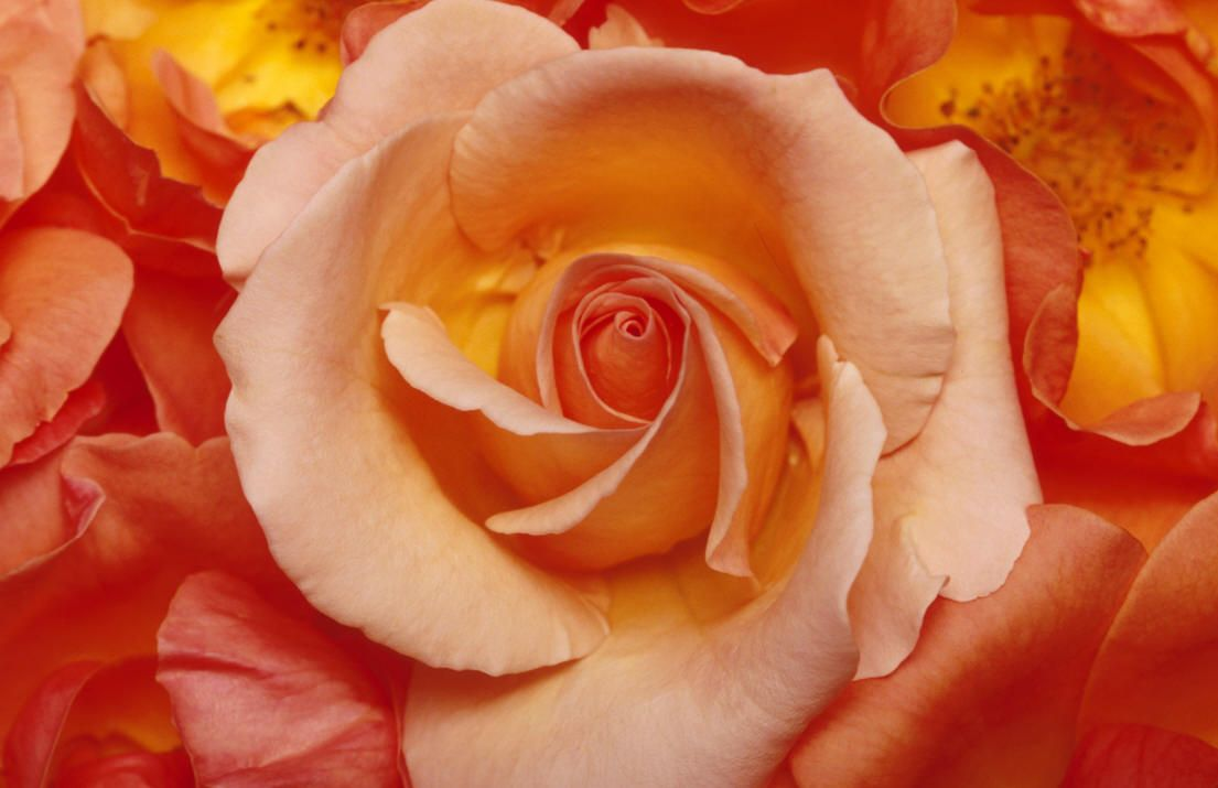 A pink and peach rose rose color meanings pink flowers