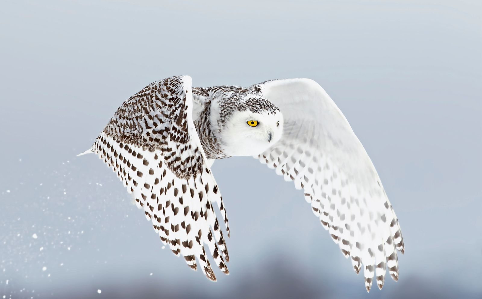 Secrets of the Snowy Owl Habitat, Adaptations, and Other