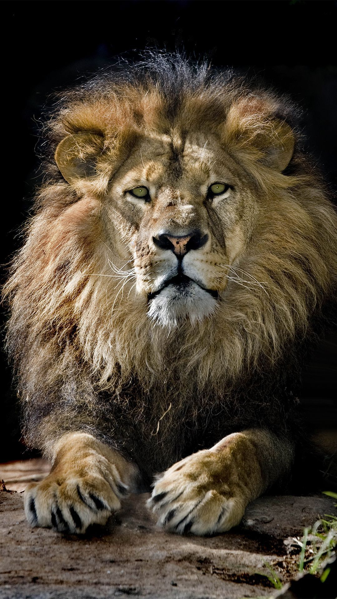 Lion Iphone Android Iphone Desktop Hd Backgrounds Wallpapers 1080p 4k In 2020 Lion Pictures Animals Beautiful Animals