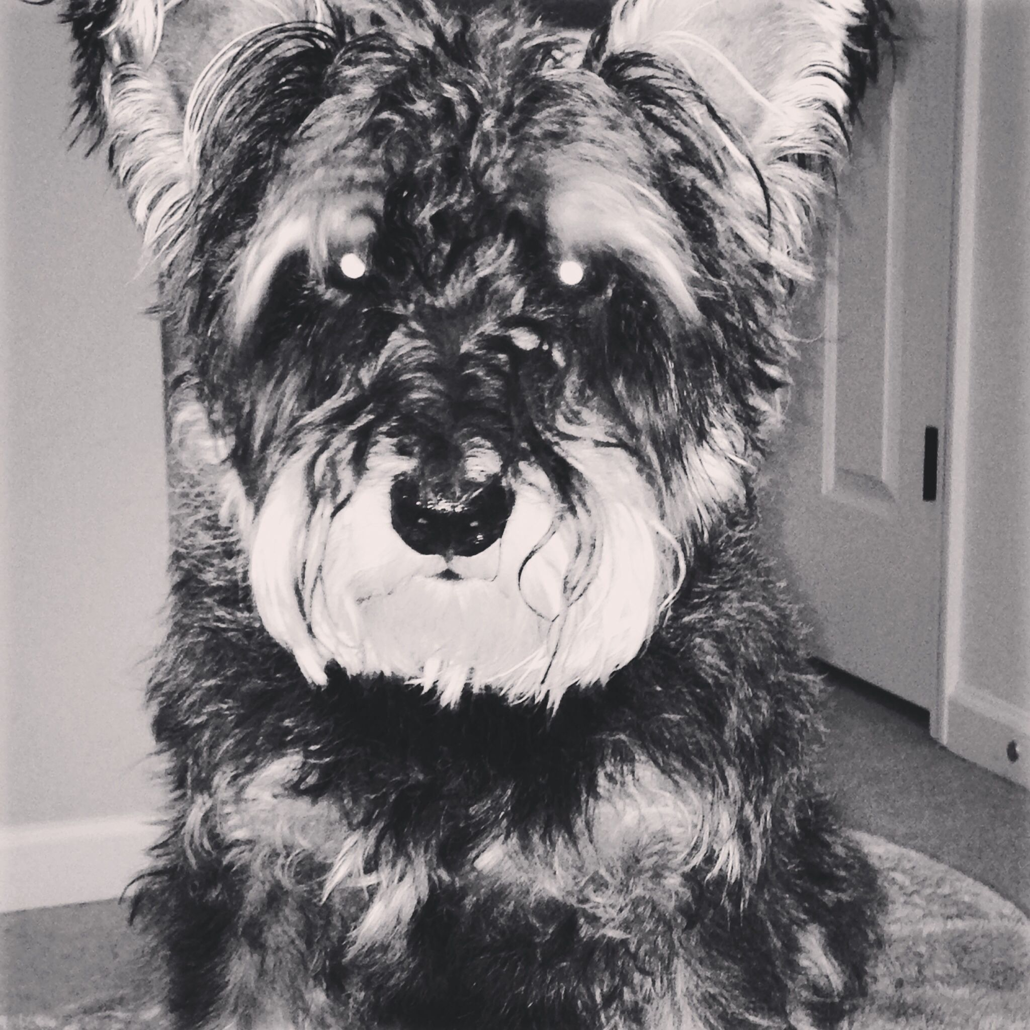 Woody from Clover Run Rescue .... Schnauzer mixed with?????