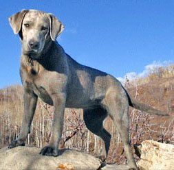 Silver Lab Diluted Chocolate Lab Also In Charcoal A
