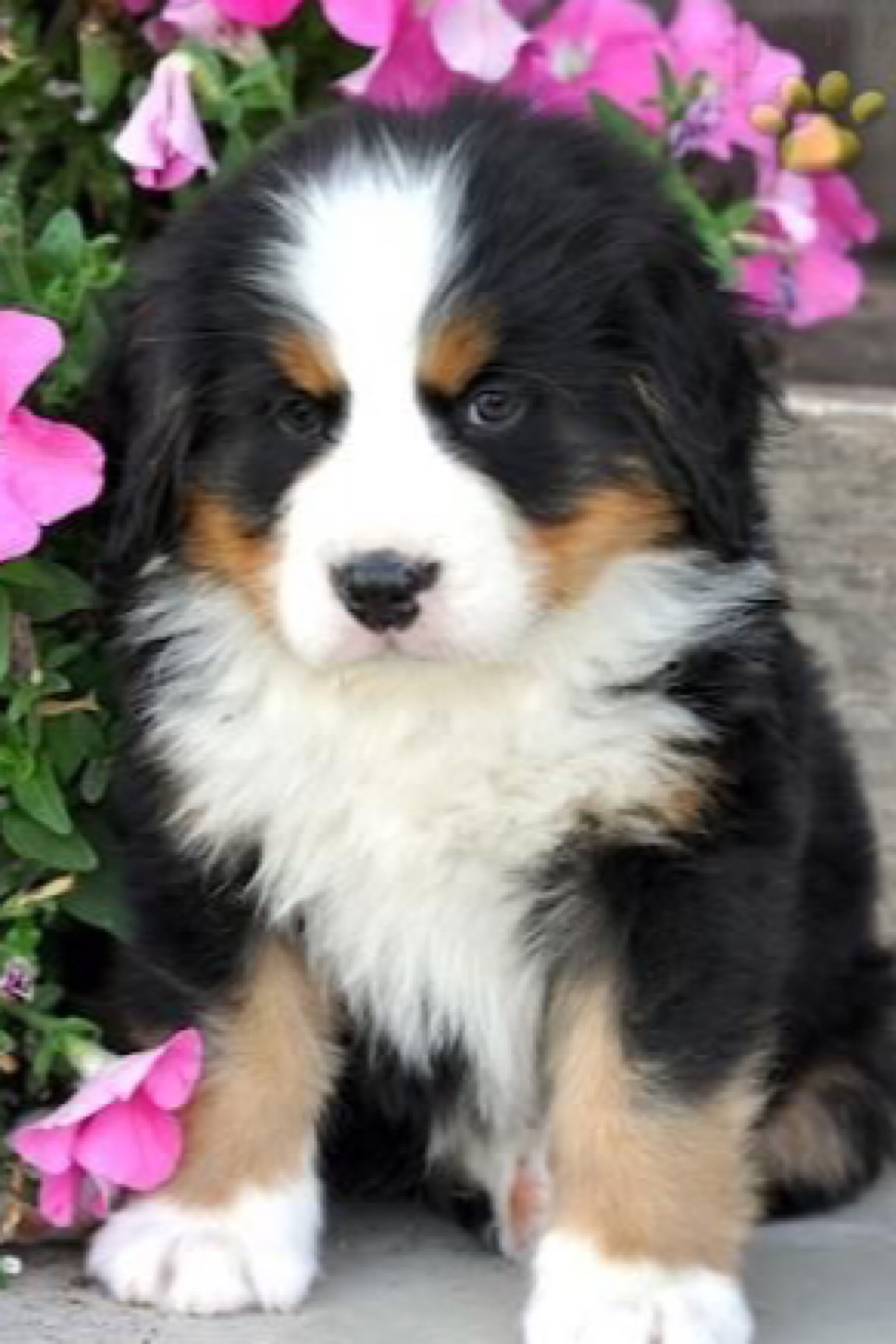 Pin By Tammy Panowicz On Cutes Bernese Mountain Dog Puppy