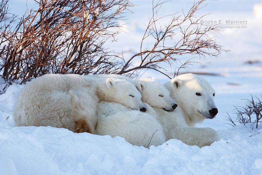 Polar bear mother and cubs sleeping on the tundra near Churchill, Manitoba