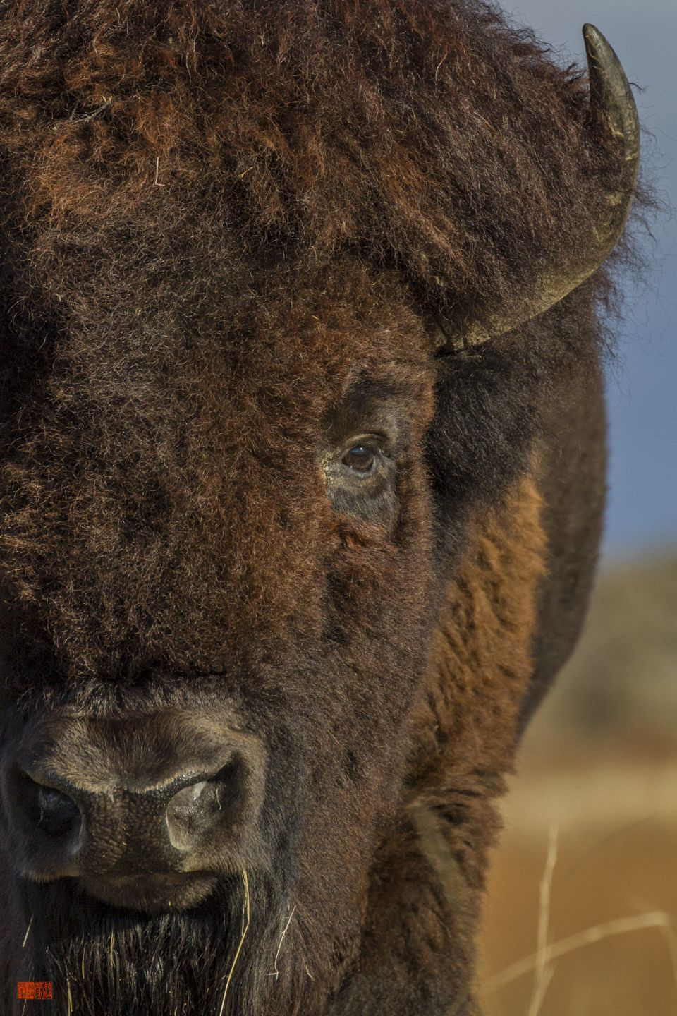 The American bison (Bison bison), also commonly known as
