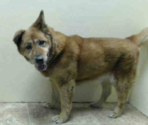 SAFE - RTO 2/2/15 Brooklyn Center  LILLIAN - A1026886  FEMALE, RED, JINDO MIX, 15 yrs STRAY - ONHOLDHERE, HOLD FOR RTO Reason STRAY  Intake condition EXAM REQ Intake Date 01/31/2015 https://www.facebook.com/Urgentdeathrowdogs/photos/pb.152876678058553.-2207520000.1423000832./954645104548369/?type=3&theater +++++++thank you so much owner for taking her back!+++++++