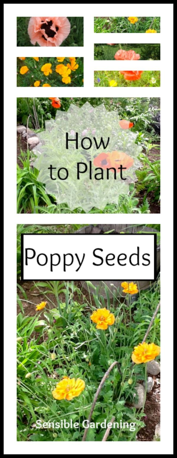 How To Start Poppy Seeds With Sensible Gardening And Living Garden