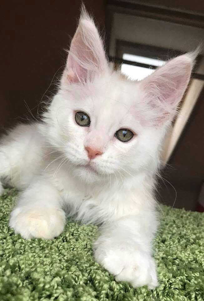 Ocean Pacific 2 5 Months Old Red Silver Shaded Boy Almost White Kittens Puppies Pretty Cats Cute Animals
