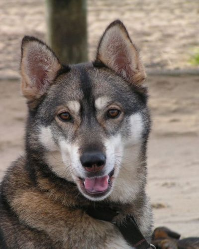 Agouti Husky Very Wolfy Looking No Wolf Content However Note