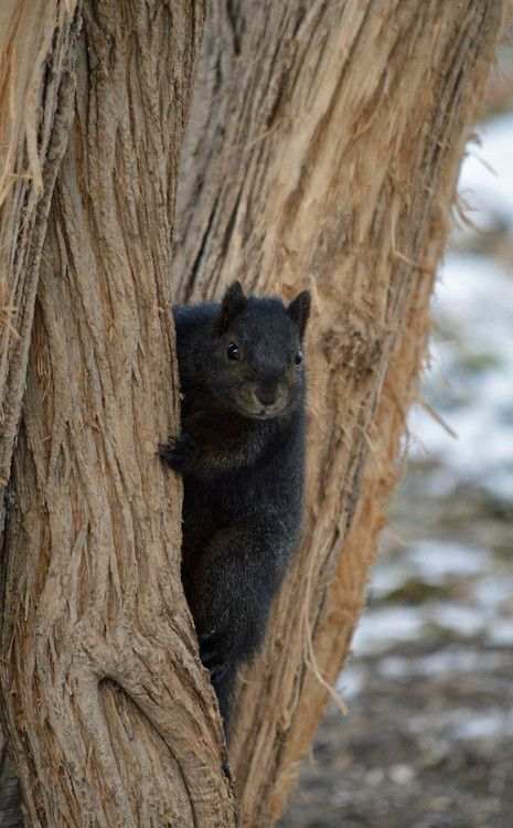 Black squirrel in a tree. ♥