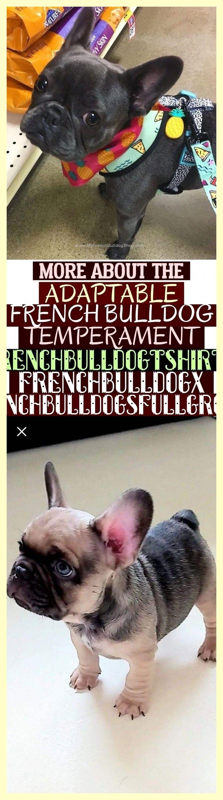 More About The Adaptable French Bulldog Temperament Frenchbulldogtshirts Frenchbulldogx Frenchbulldogsfullgrown Weitere Informationen Zum Anpassungsfahigen Temp French Bulldog Bulldog Cute Animals