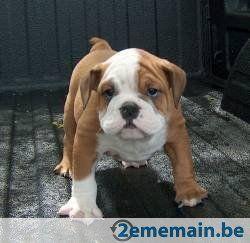 Bulldog Anglais A Vendre 995 à Kasterlee Tielen Puppies