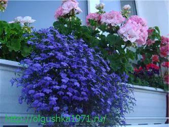 Цветы садовые однолетние низкие долгоцветущие фото и названия