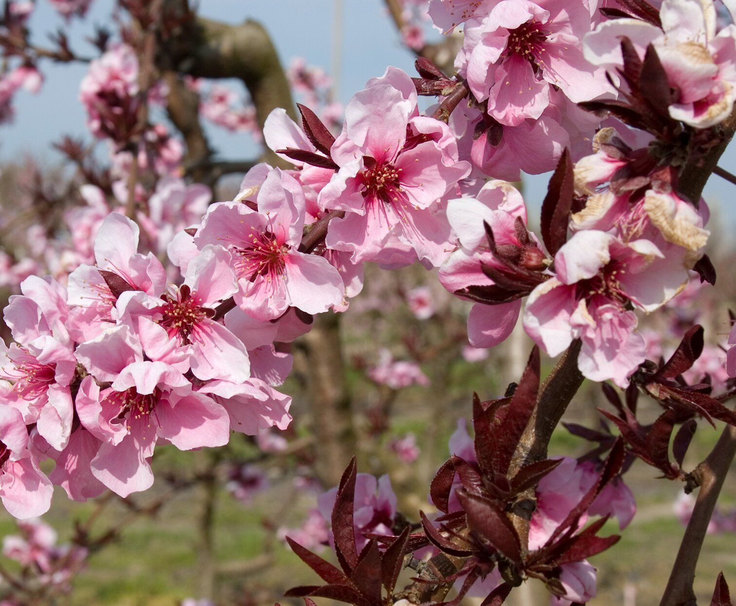 You Can T Buy Nectaplums At The Store But You Can Grow Them Almost Anywhere Pink Fruit Fruit Trees Growing Tree