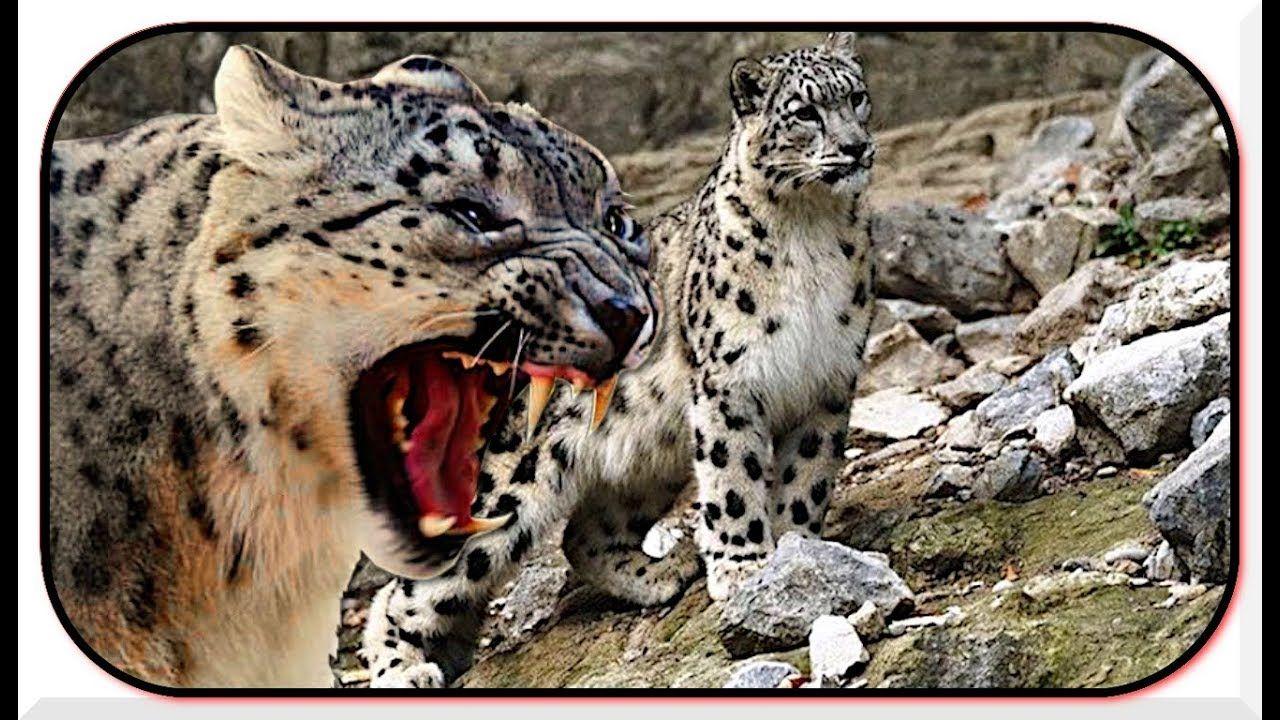 Snow Leopard Hunting Leopardo De Las Nieves Cazando Cabras Snow Leop Leopardos Felinos Africa Salvaje