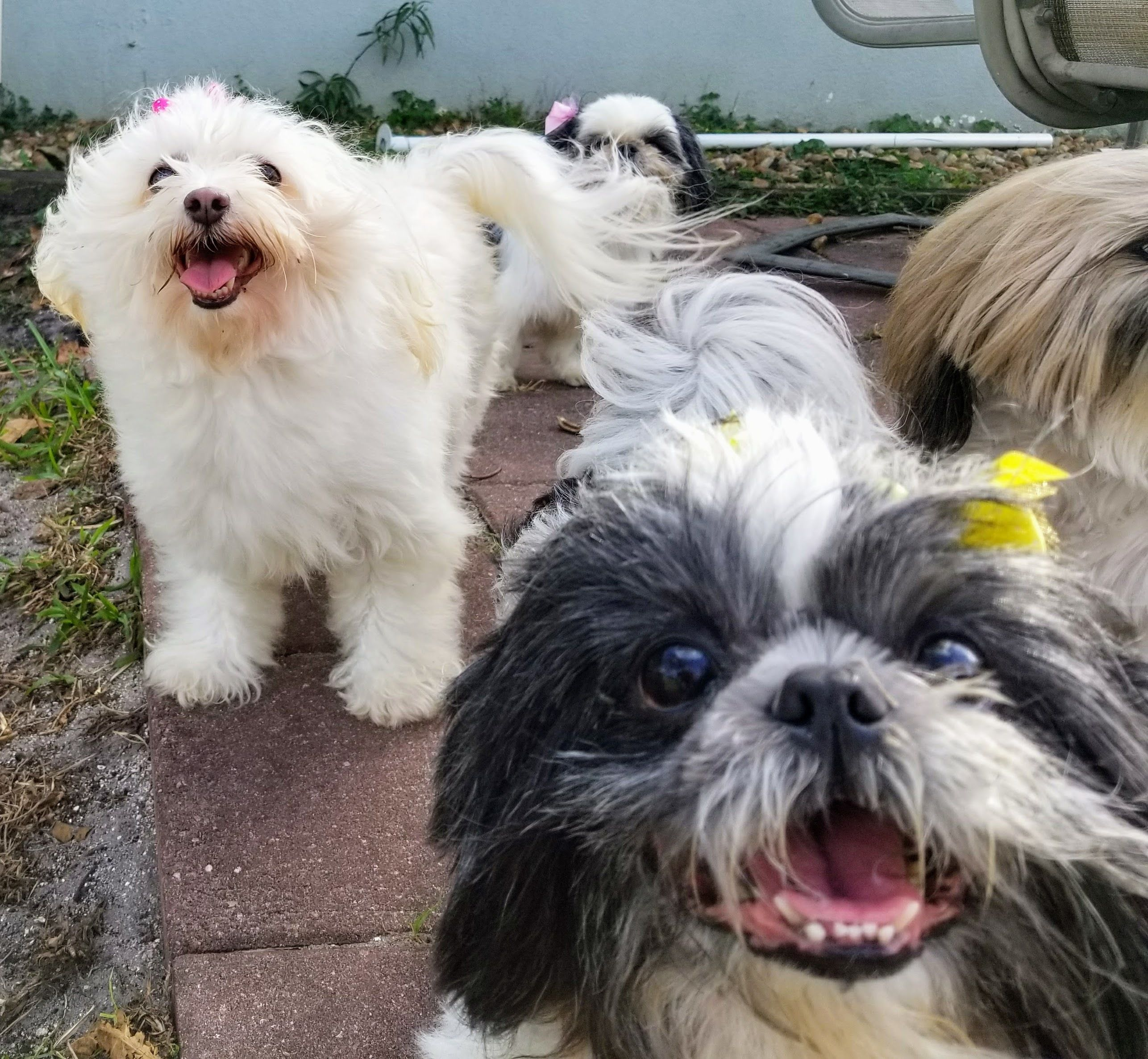 45+ Puppy Shih Tzu For Sale Near Me in 2020 Puppies