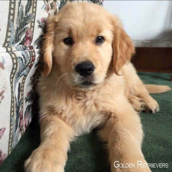 Golden Retriever Puppies Goldenretrieverbrasil