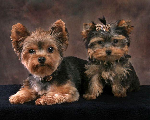 Yorkie Puppies 1 - Patrick Nau Pet Photography