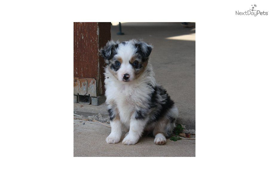 Miniature Australian Shepherd Puppy For Sale Darby Stunning Blu