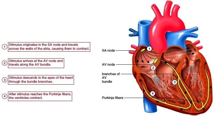Conduction system of the heart 1 the sa node sends out a stimulus conduction system of the heart 1 the sa node sends out a stimulus which causes the atria to contract 2 when this stimulus reaches the av node ccuart Images