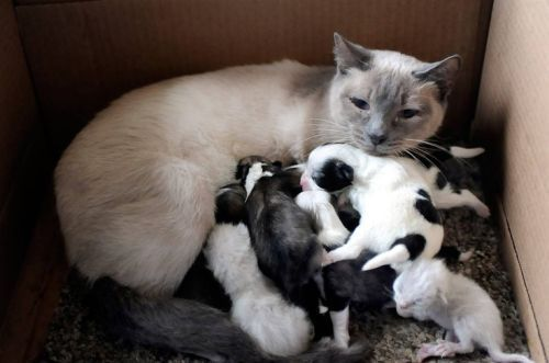 This Siamese Looking Mommy Cat Has A Huge Litter Of Black And White Kittens Only The Little Runt A Newborn Kittens Puppies And Kitties Unlikely Animal Friends