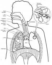 Lesson 6 - Respiratory System - lung diagram & great explanation ...