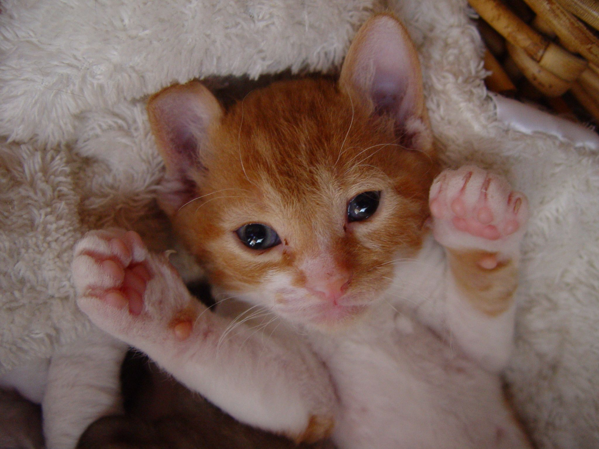 German Rex Kitten See My Paws With Images Cat Breeds Rex Cat Best Cat Breeds
