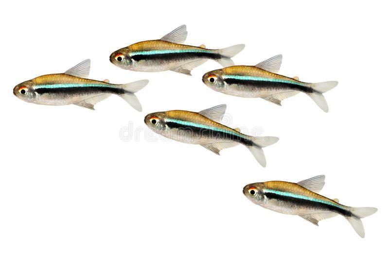 Swarm Of Black Neon Tetra Hyphessobrycon Herbertaxelrodi Aquarium Fish Swarm Of Spon Neon Tetra Swarm Black Hyphess Neon Tetra Fish Aquarium Fish