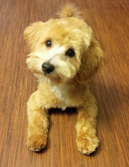 Toby Bear The Poodle Mix Poodle Mix Poodle Puppies
