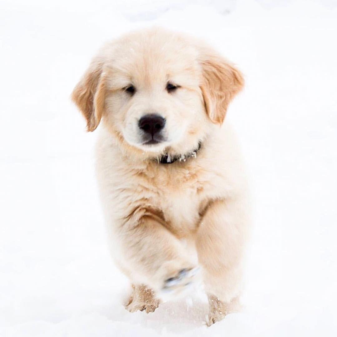 Golden retriever noble loyal companions dog retriever puppies