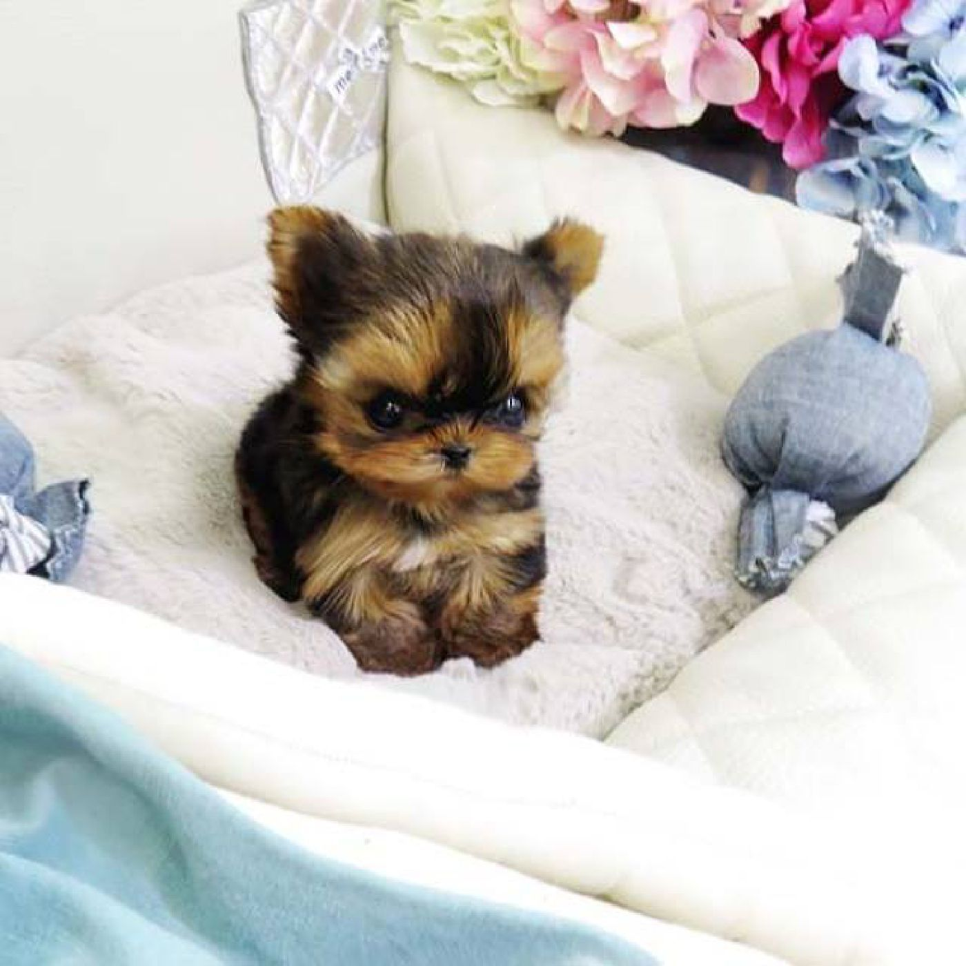 Pin By Yolanda Shannon On Pets Yorkie Puppy For Sale Teacup Yorkie For Sale Yorkshire Terrier